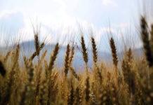 Fungicydy a uprawa rzepaku